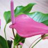 Антуриум: болезни листьев, цветов и способы их лечения
