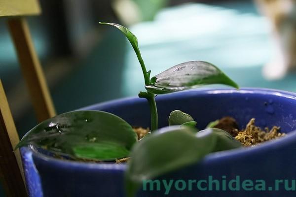 Как правильно поливать орхидею фото