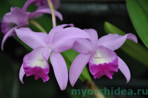 Орхидея Боуринга фото