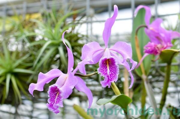 Орхидея Большая фото