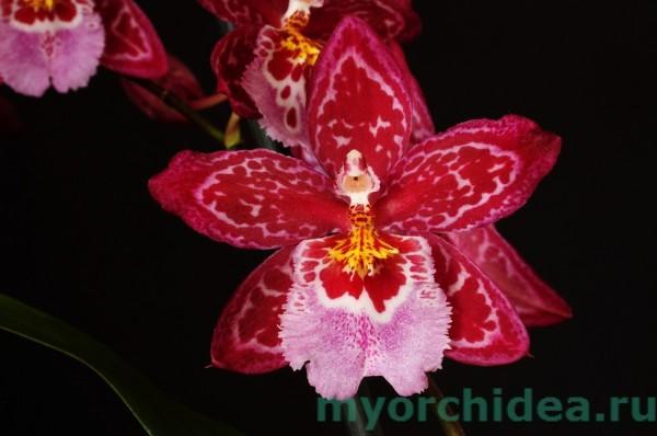 Орхидея Буррагеара фото