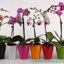 Карликовая орхидея