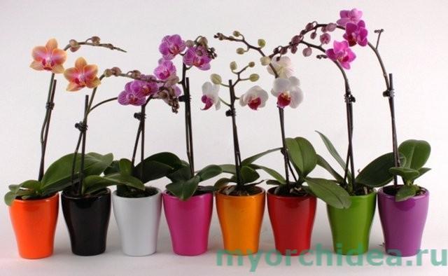 Карликовая орхидея фото