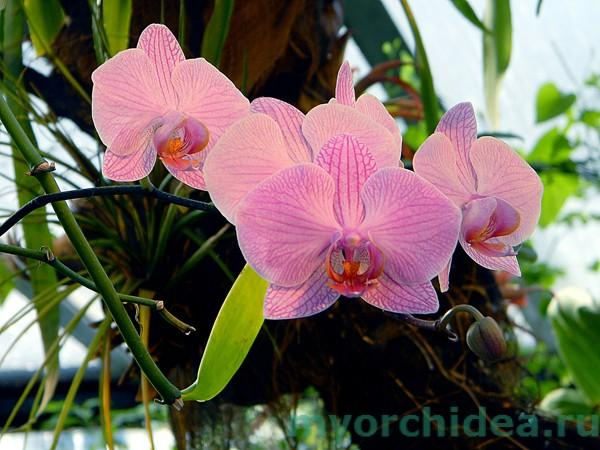 Фаленопсис розовый фото