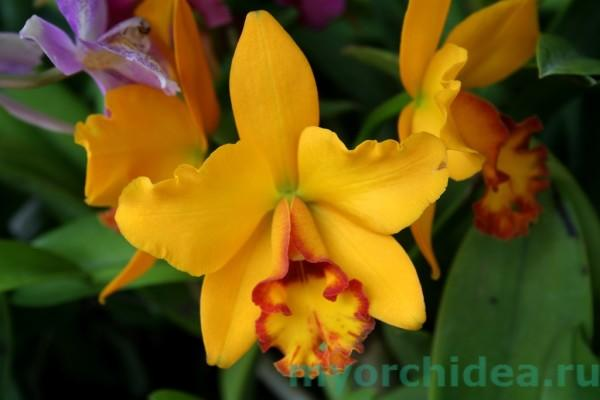 Yellow Cattleya Orchid (marylea)