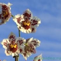 Камбрия орхидея