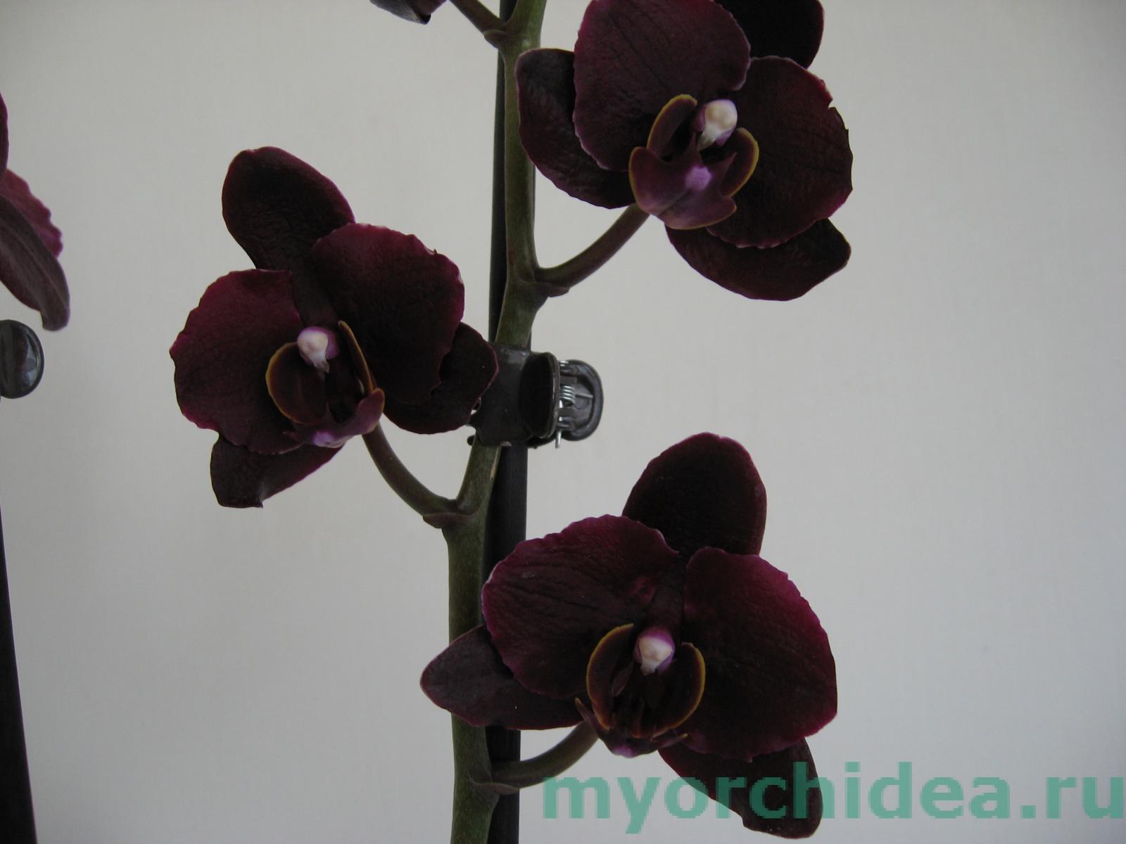 Цветок черная орхидея фото