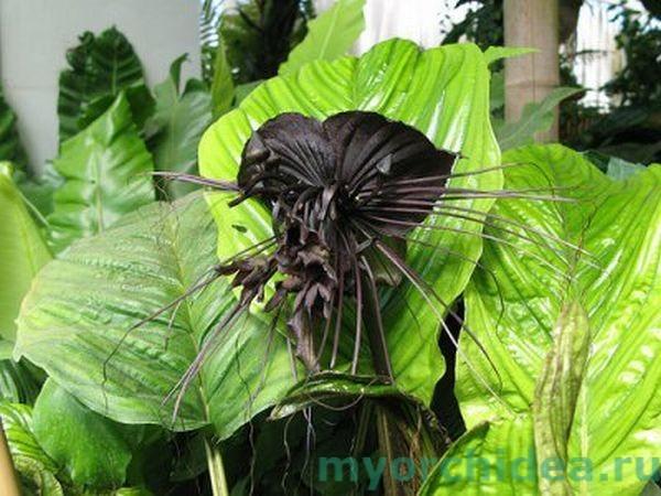 черная орхидея такка фото