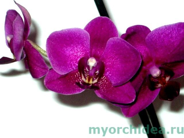 фиолетовый фаленопсис фото