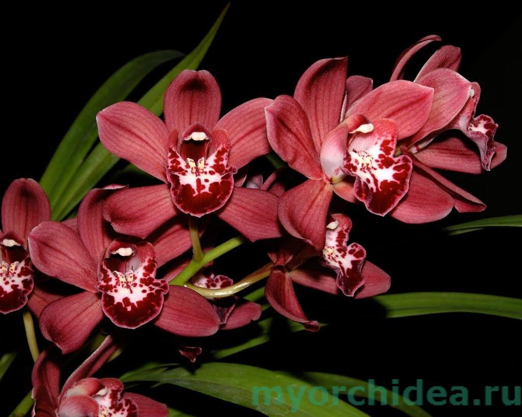 красная орхидея фото