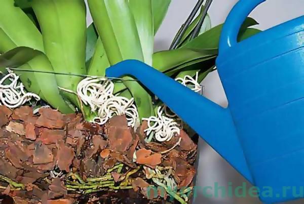 Полив орхидеи с использованием лейки фото