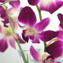цветы дендробиума