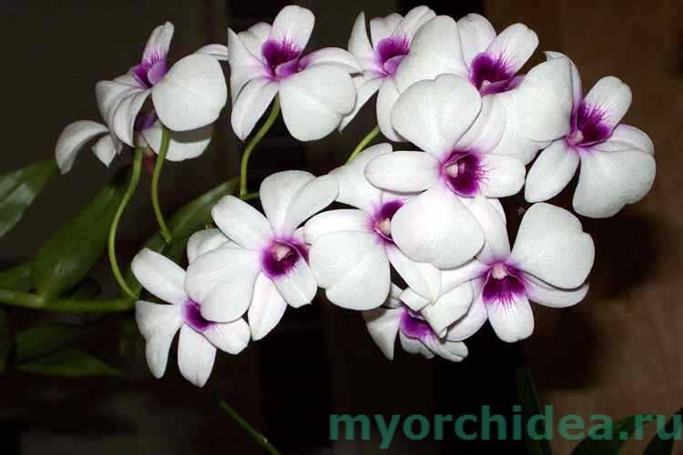орхидея париша фото