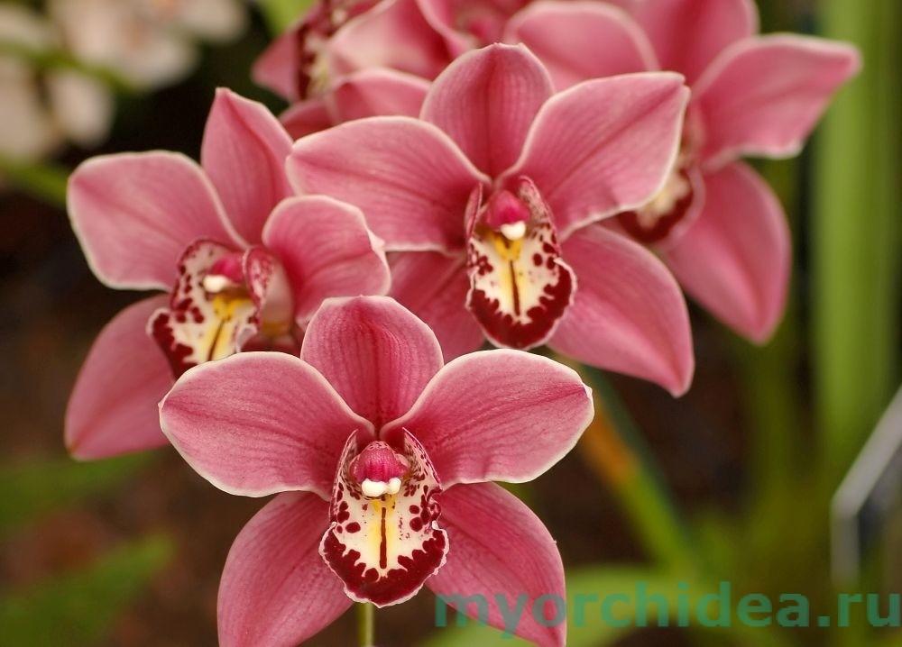 орхидея красная фото