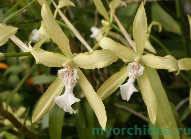 орхидея мильтония желтоватая фото