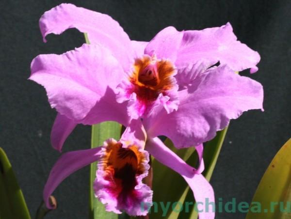 Орхидея Персиваля фото