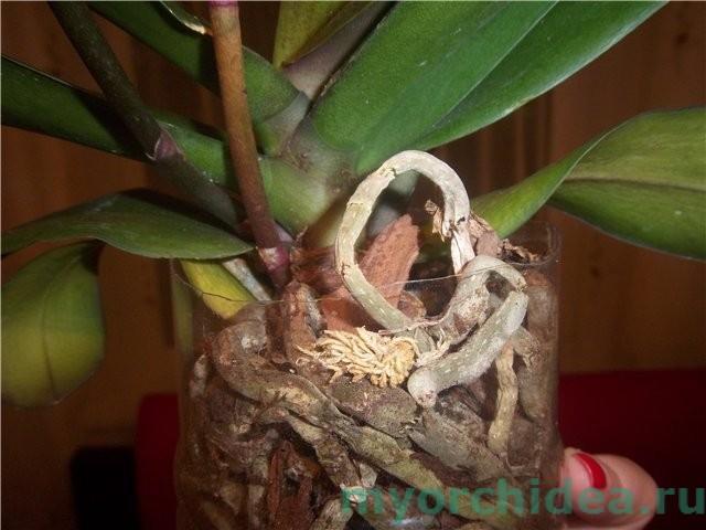 пересохшие корни орхидеи фото