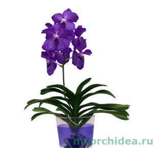 Орхидея Ванда в вазе фото
