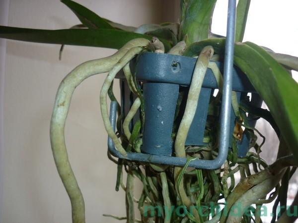 Орхидеи воздушные корни что с ними делать
