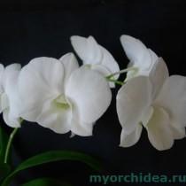 Дендробиум фаленопсис белый