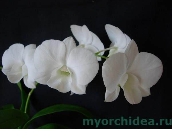 Дендробиум фаленопсис белый фото