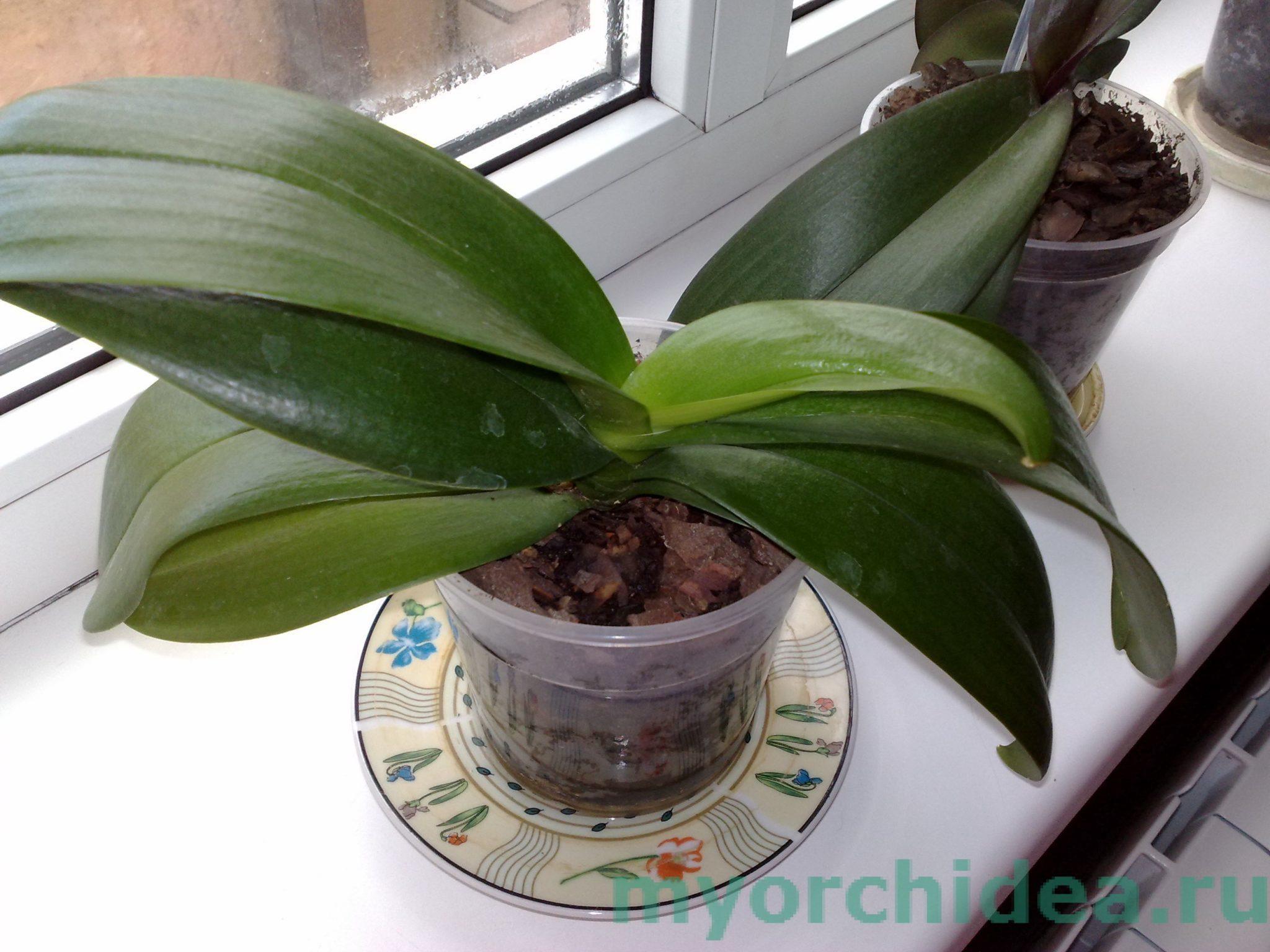 Листья здоровой орхидеи фото
