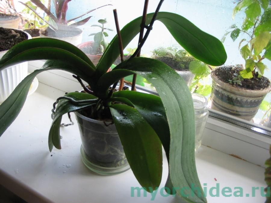 Чем удобрять орхидею в домашних условиях для цветения