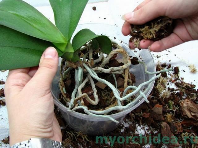Цветение орхидеи: как ухаживать во время и после цветения