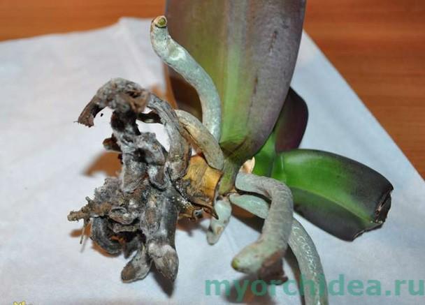 Поврежденные корни фаленопсиса фото