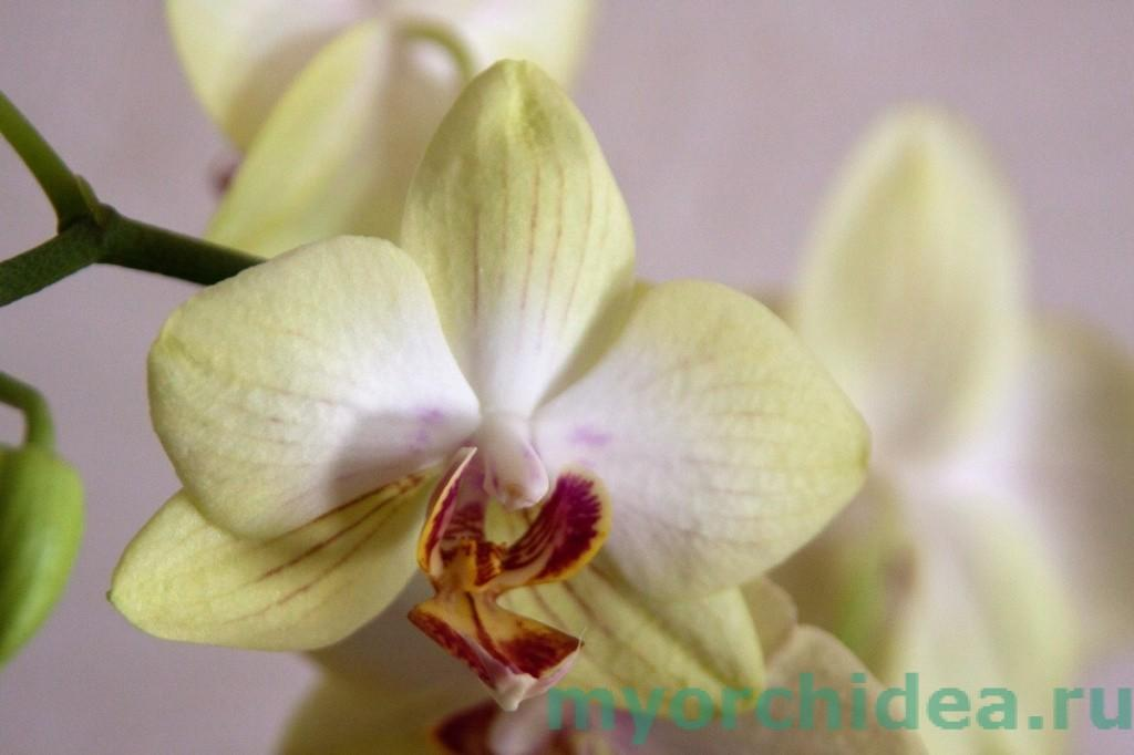 Цветение орхидей фото