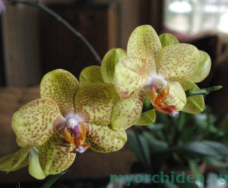 Цветок фаленопсиса фото