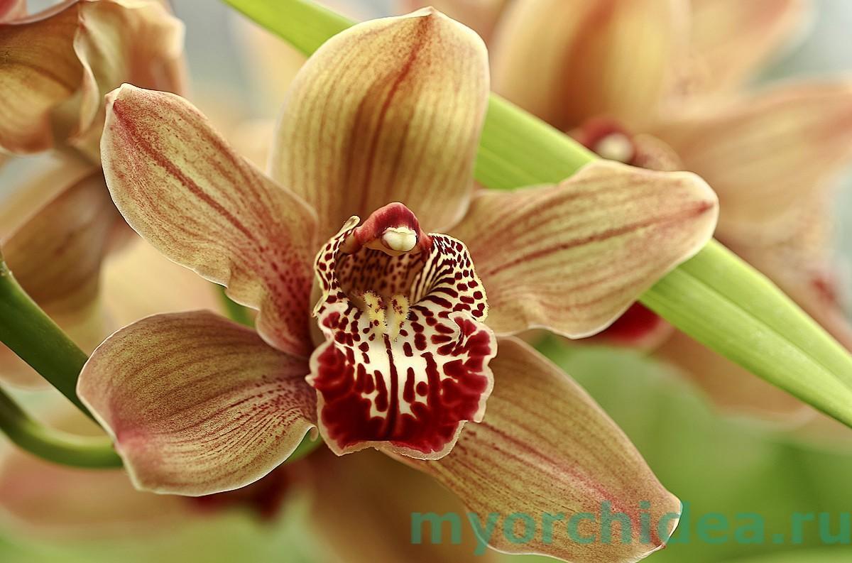 Цветок орхидеи фото