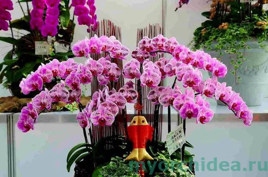 Цветущая орхидея фаленопсис фото