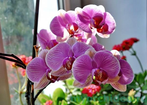 Цветение орхидеи Фаленопсис фото
