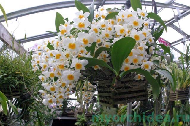Фото цветы апельсина