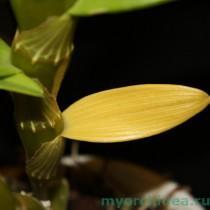 желтый лист орхидеи