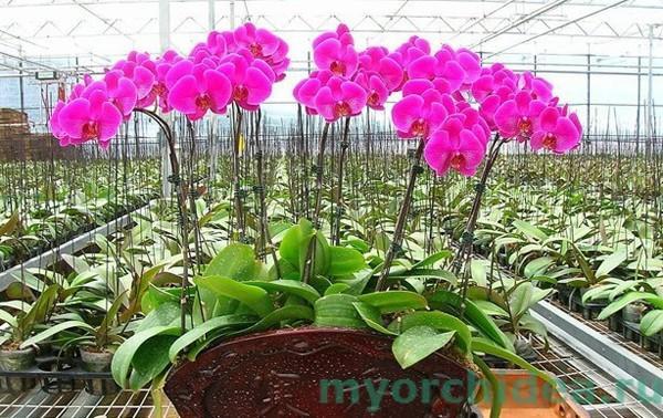 Размножение орхидей семенами