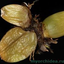 сгнивший лист орхидеи