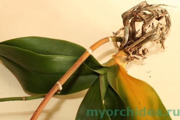 Орхидея пострадала от инфекции грибов Fusarium фото