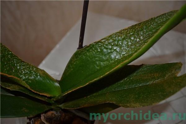 Влияние низких температур на орхидею фото