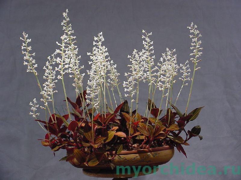 орхидея лудизия фото