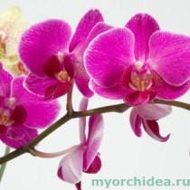 орхидея цветет фото