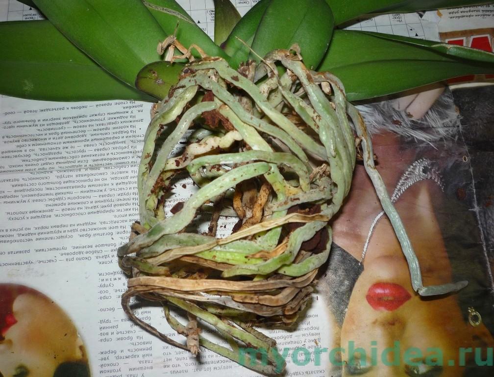 пересадка орхидеи фото