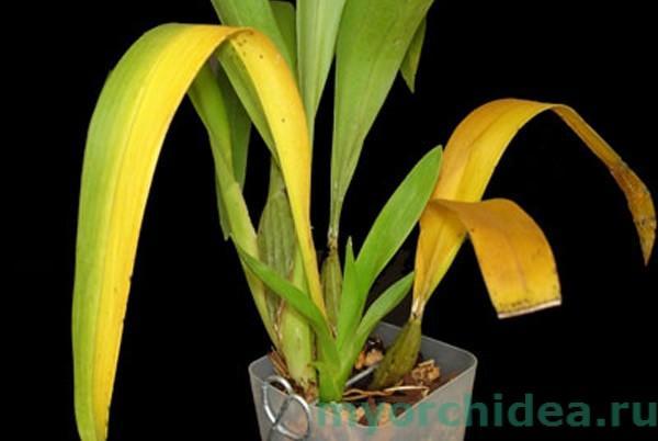 Недостаточный полив орхидеи фото