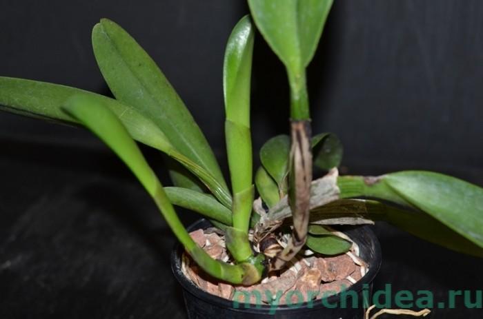 размножение орхидей дома фото