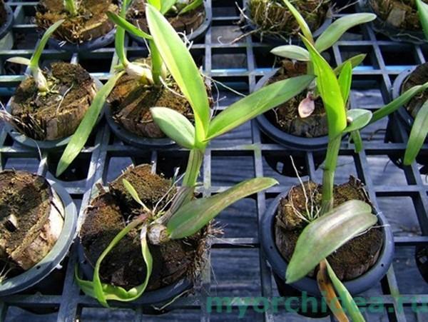 Размножение орхидей черенкованием фото
