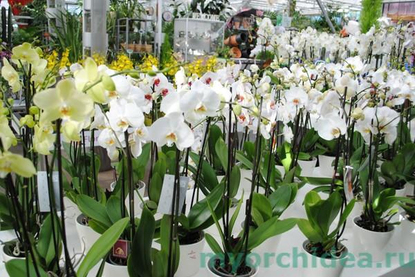 Размножение орхидеи семенами фото