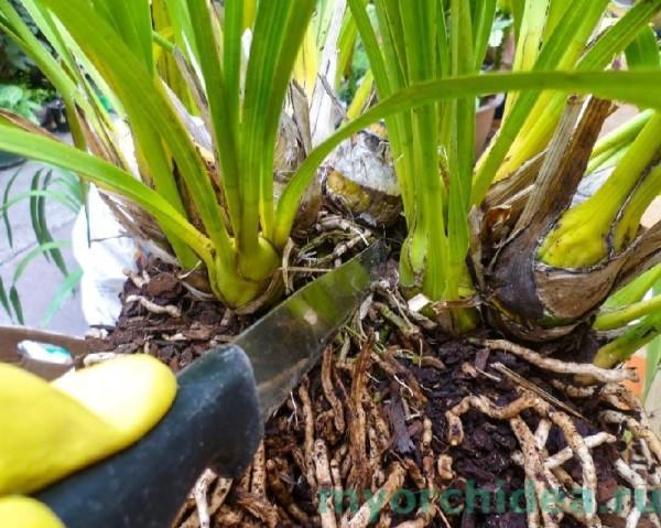 Размножение орхидеи способом деления куста фото