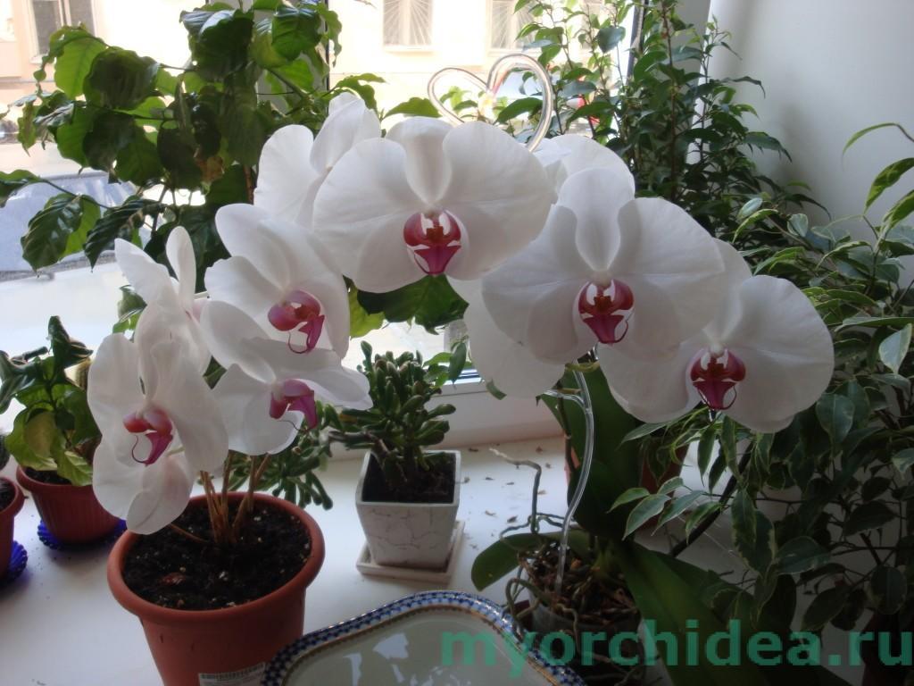 цветение фаленопсиса фото