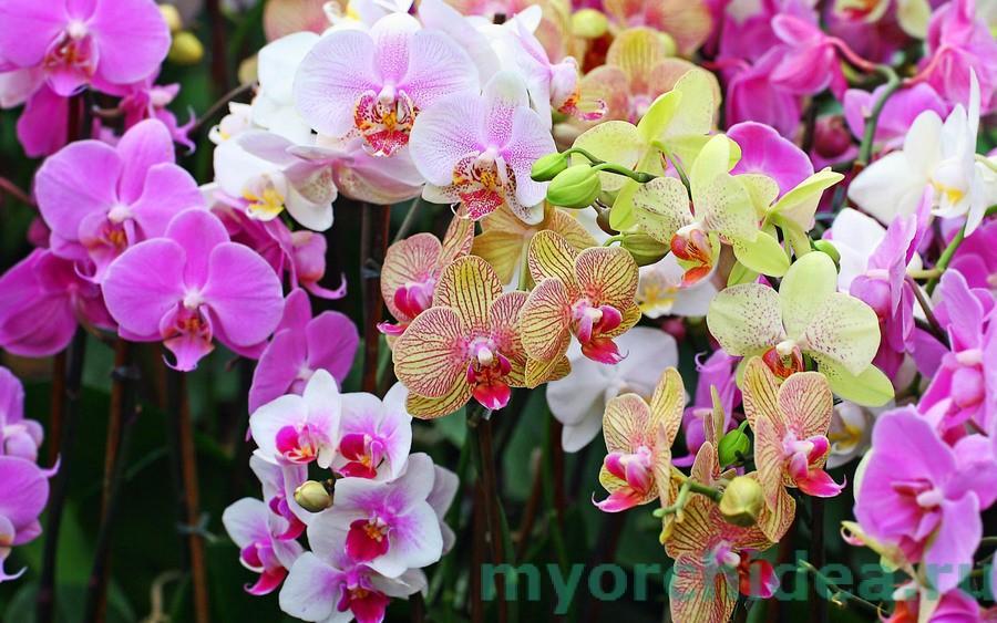Цветущие орхидеи фото